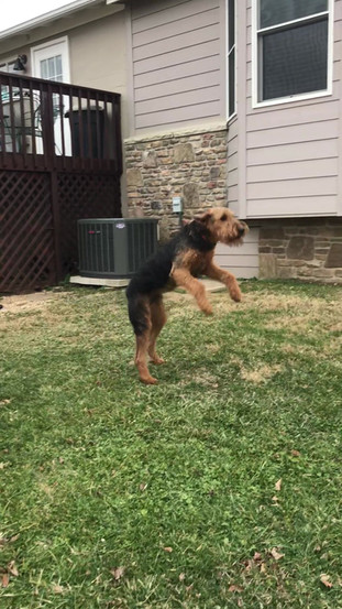 There is Happy and there is Airedale Happy!