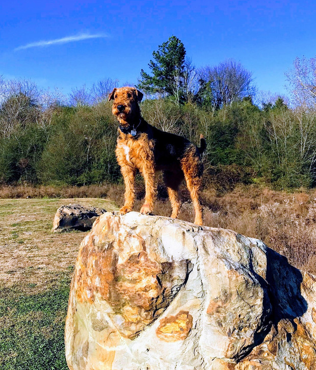 Darby being an Airedale