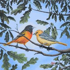 Oriole Birds on White Oak Tree