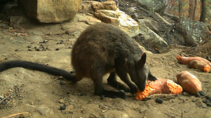 A brush-tailed rock wallaby eats sweet potatoes after devastating bushfires in eastern Australia 2020
