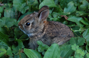 Cottontail kitten
