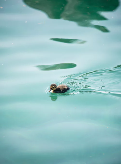 Duckling paddling in blue water by Joshua Fuller on Unsplash