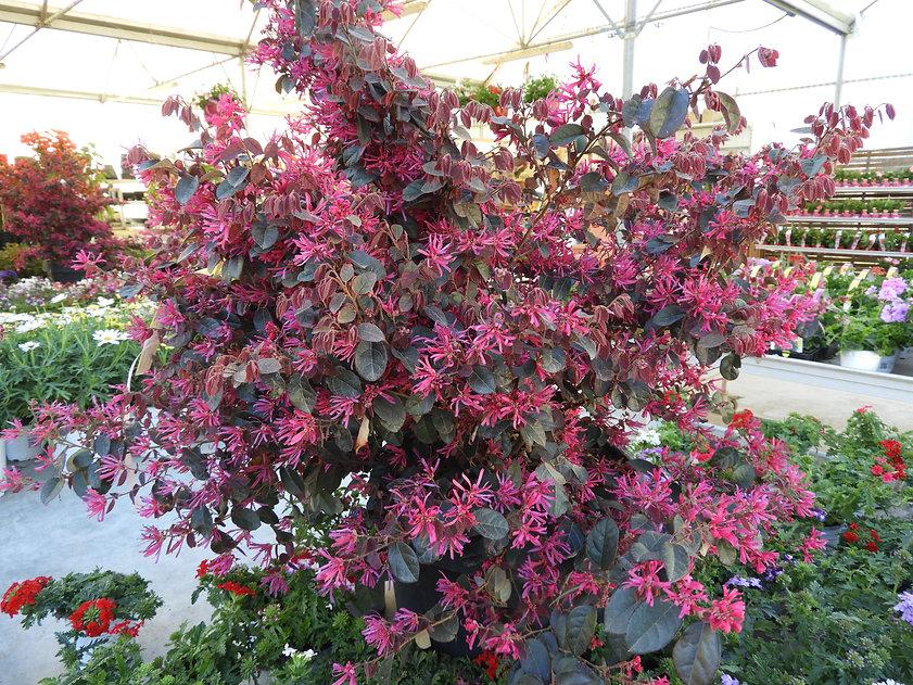 fleur printemps plante arbuste