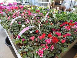 Fleurs vivaces jardinerie bagnol, bagnols sur cèze