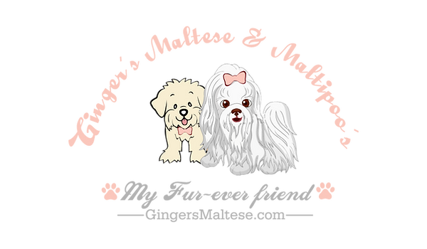 maltese puppy puppies maltipoo cute
