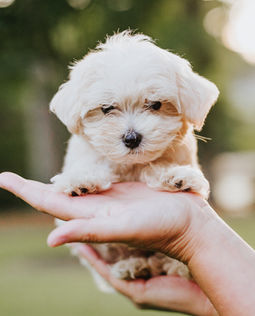 Maltipoo puppy for sale nc cute