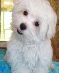 happyfeet-maltese-puppy-myrtlebeach[1]