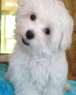 happyfeet-maltese-puppy-myrtlebeach[1]