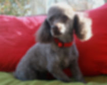 poodle matipoo puppy for sale near me cute breeder