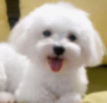 maltese dog for sale Raleigh nc puppy cute