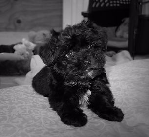 maltese maltipoo puppy dog cute for sale near me breeder puppies available