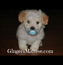 Maltipoos for sale nc cute puppy