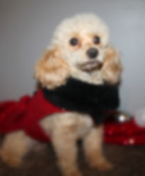 maltipoo poodle for sale puppy NC near me