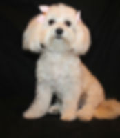 maltipoo for sale puppy puppies puppys