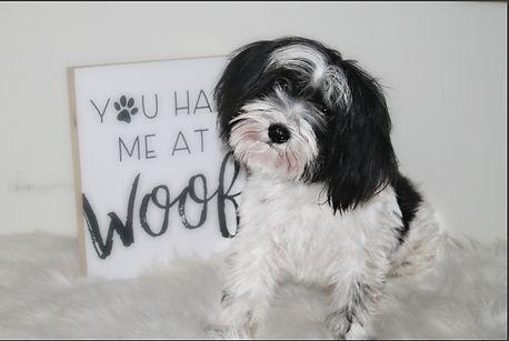 shih tzu puppy for sale maltese near me breeder nc