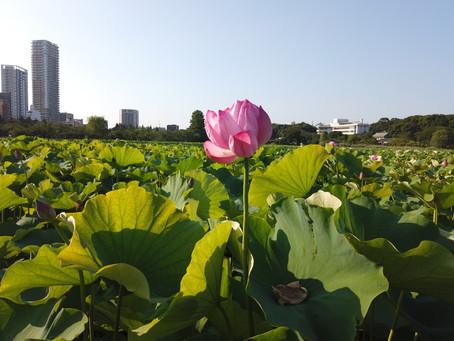 上野公園的「不忍池」