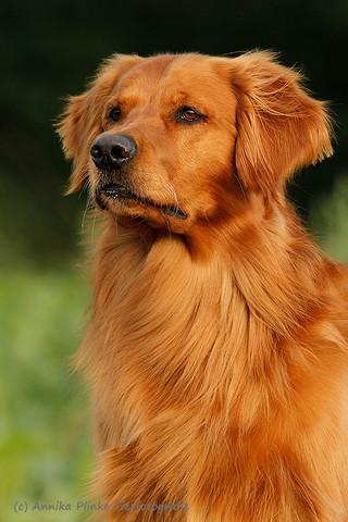 Deckrüde | Golden Retriever | Arbeitslinie | Niedersachsen | Deutschland | Stud Dog | Field Bred Golden | Working Golden Retriever | Dummy