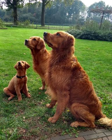 Deckrüde | Golden Retriever | Arbeitslinie | Niedersachsen | Deutschland | Stud Dog | Field Bred Golden | Working Golden Retriever | Dummy Jagd | Hunting | Gun Dog | Welpen | Puppy