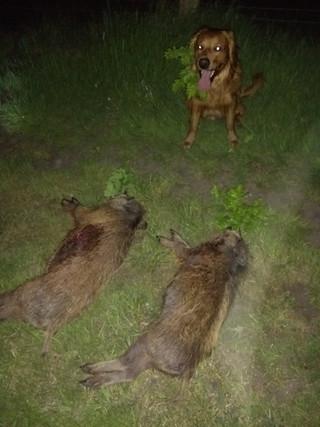 Deckrüde | Golden Retriever | Arbeitslinie | Niedersachsen | Deutschland | Stud Dog | Field Bred Golden | Working Golden Retriever | Dummy Jagd | Hunting | Gun Dog