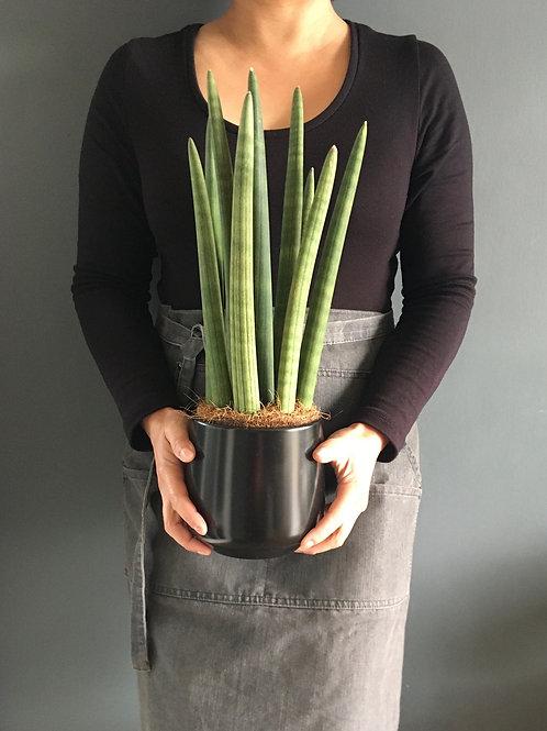 Snake plant & Pot - Sanseveriacylindrica