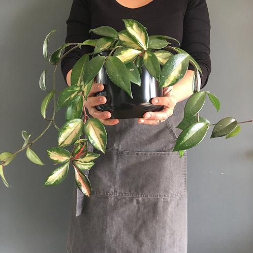 Wax plant & Pot - Hoya carnosa tricolor