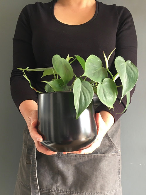 Heart leaf vine & Pot - Philodendron scandens
