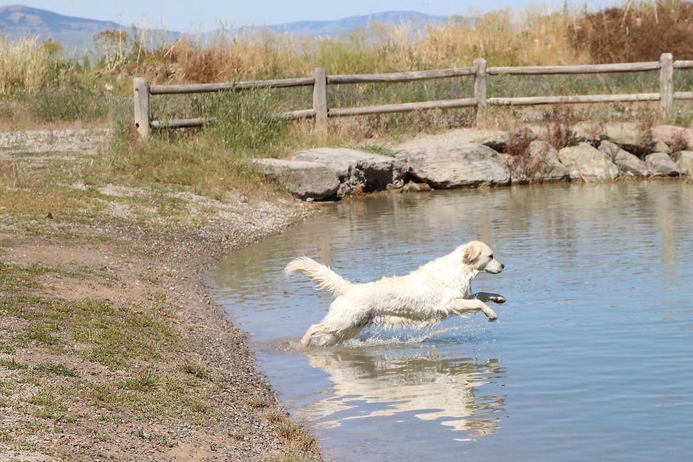 Golden Retriever focused on water retrieving