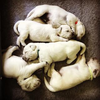 Little Porky Puppies