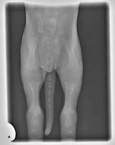 x-ray image of young puppy hips and legs