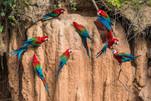 Peru-macaws-clay-lick.jpg