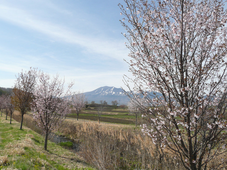 桜並木と浅間山