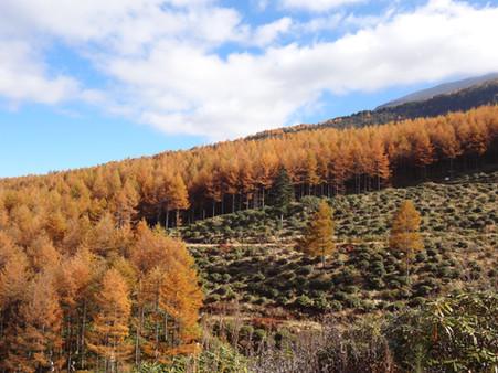 浅間高原シャクナゲ園の紅葉