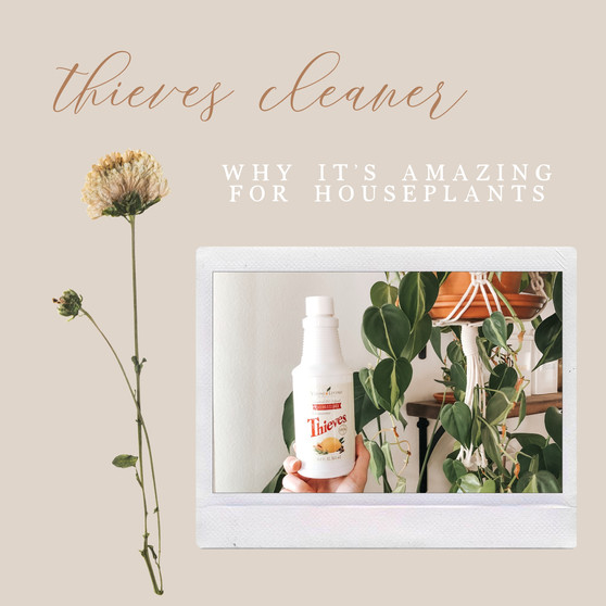 Thieves Cleaner: why it's amazing for houseplants
