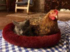 foster kitty with her chicken.jpg