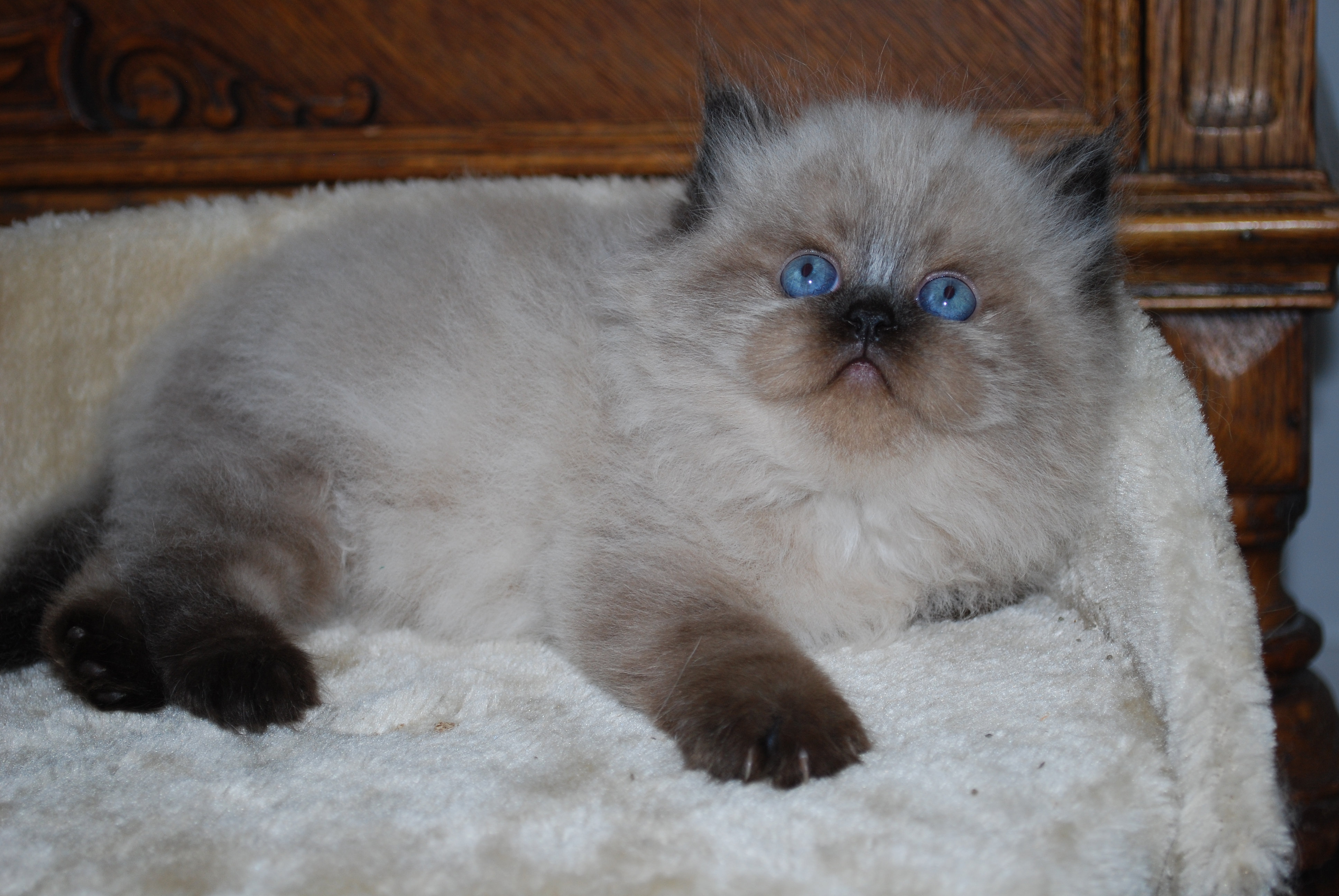Himalayan kitten for sale in nc