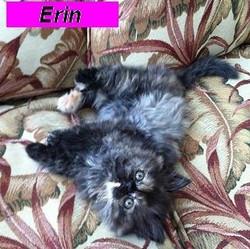 Penny's Persians - Erin