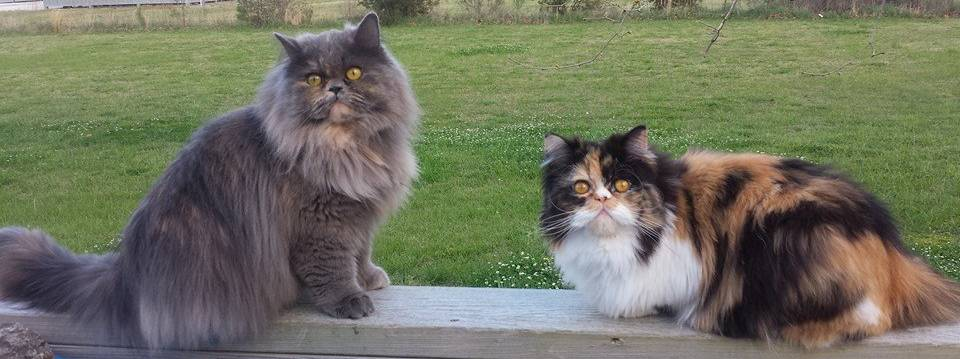 Penny's Persians - Bella and Calli
