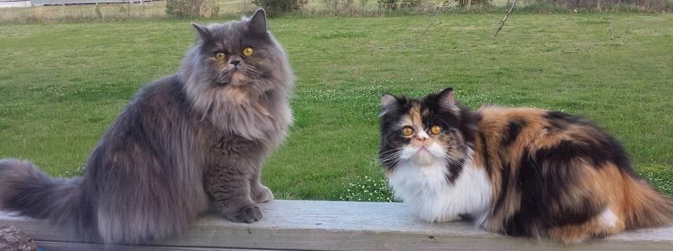 Penny's Persians - Bella and Calli