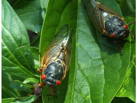 Millions Of Cicadas Will Re-Emerge In These States After 17 Years Underground
