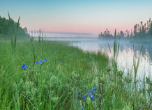 Water Iris In The Morning