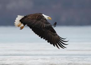 Eagle Hunt