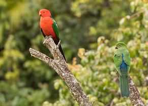 Queensland King Parrots