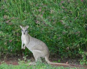 North Queensland Kangaroo