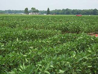 soybean field .jpg