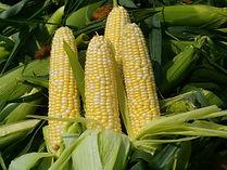 Sweet corn crop insurance, 2014 farm bill, georgia