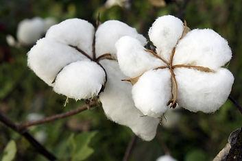 cotton+1.jpg