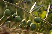 Olives crop insurance, 2014 farm bill, georgia