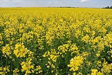 Canola crop insurance, 2014 farm bill, georgia