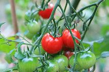 Tomatoes crop insurance, 2014 farm bill, georgia