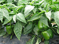 Peppers crop insurance, 2014 farm bill, georgia
